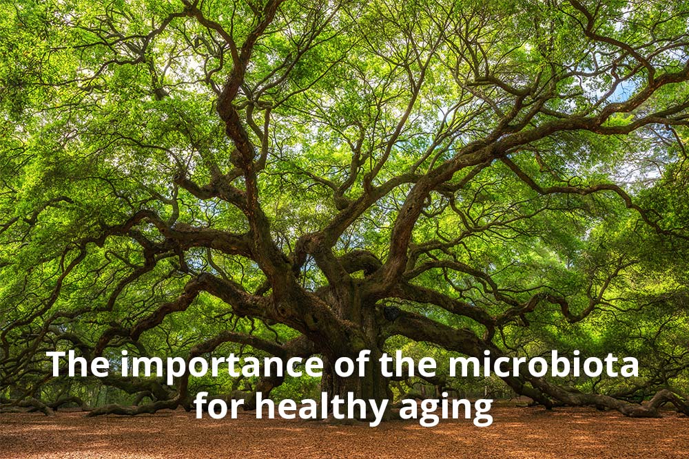 High concentration probiotics for healthier aging